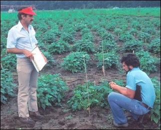 Fred Bliss and Ken Kmiecik evaluating snap bean trials at the Hancock, WI Experiment Station.