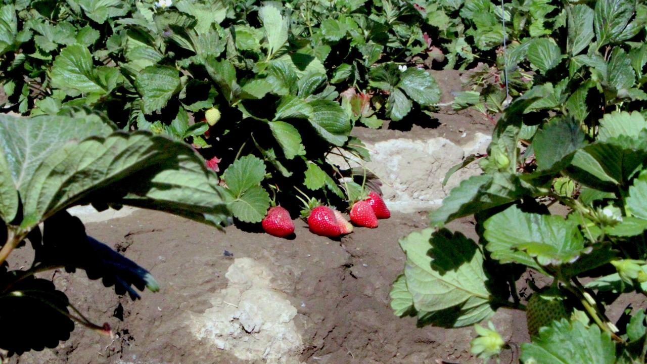 Strawberries Pictures Copy